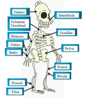 EL SISTEMA ÓSEO: Imágenes del sistema óseo
