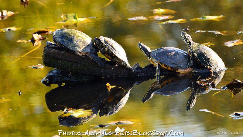 http://2.bp.blogspot.com/-bo_zcd_fCTQ/Tt-aXsNuq7I/AAAAAAAACn4/DT7w89Mc4wM/s1600/turtle%2Bpictures%2B.jpg