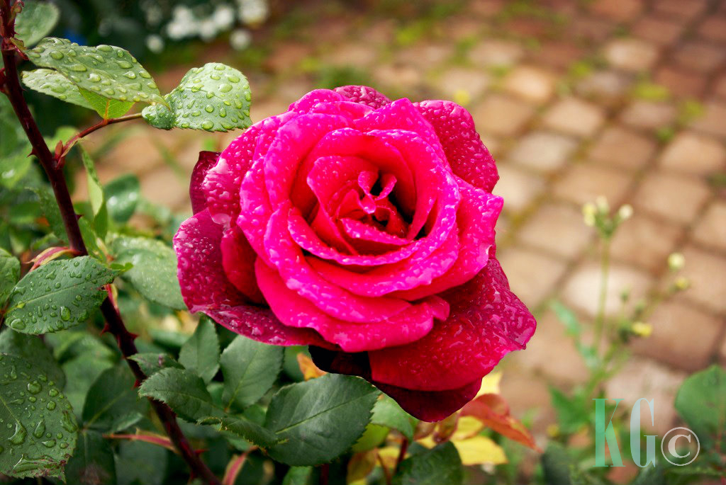 rose dew garden pink