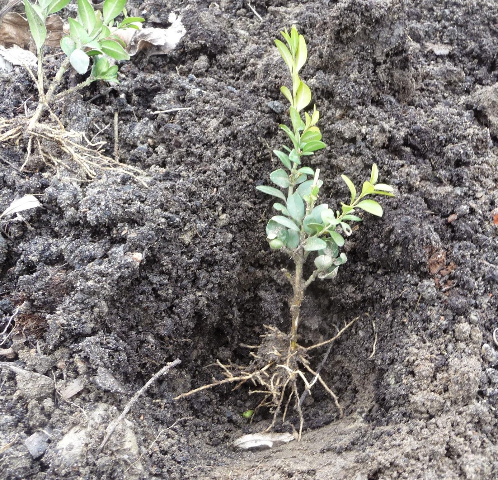 sadzenie żywopłotu z bukszpanu