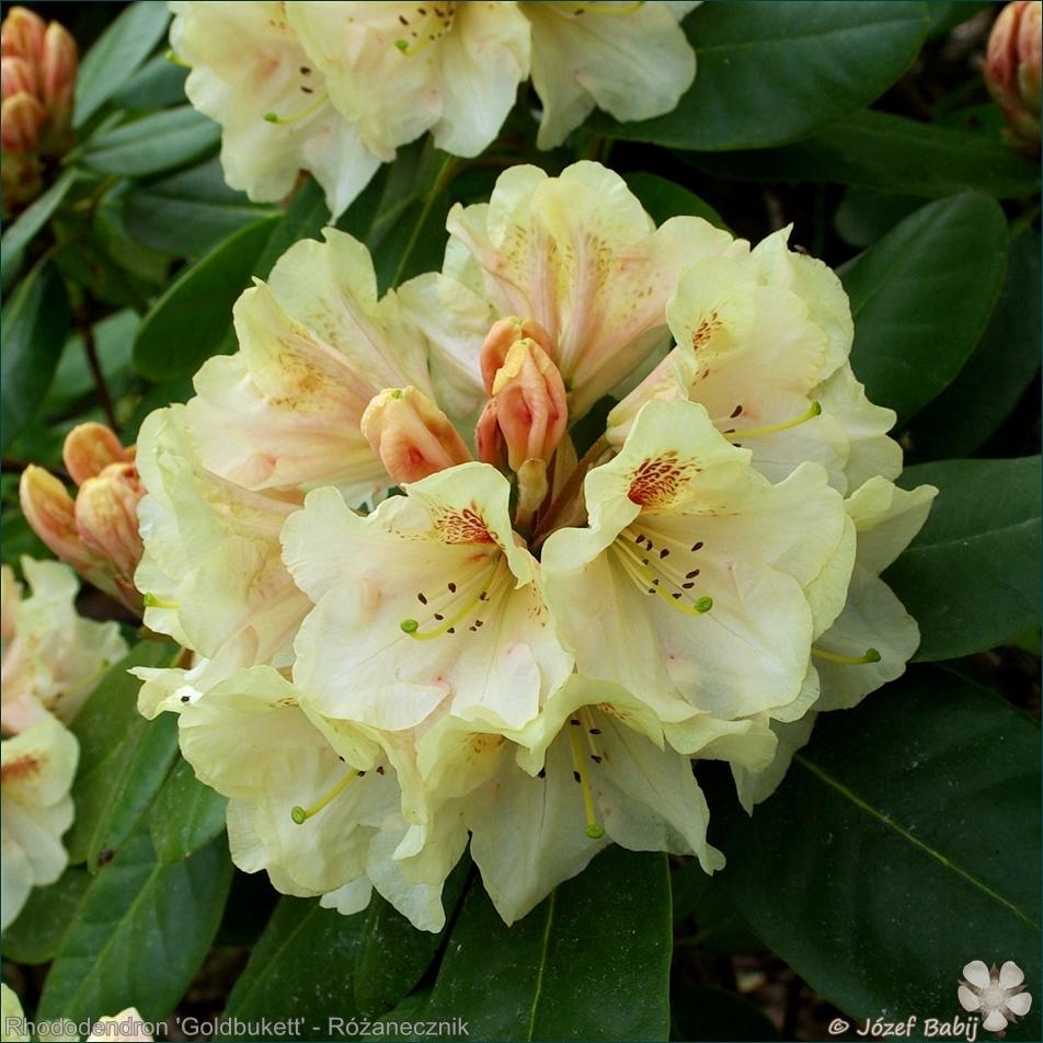 Rhododendron 'Goldbukett' - Różanecznik 'Goldbukett'