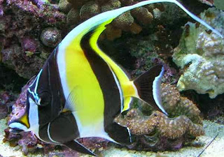 Ikan Hias Moorish Idol