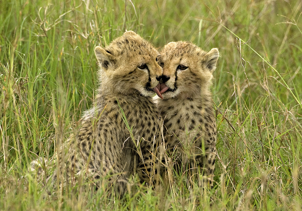 The Gallery For Gt Cute Baby Leopard Cubs