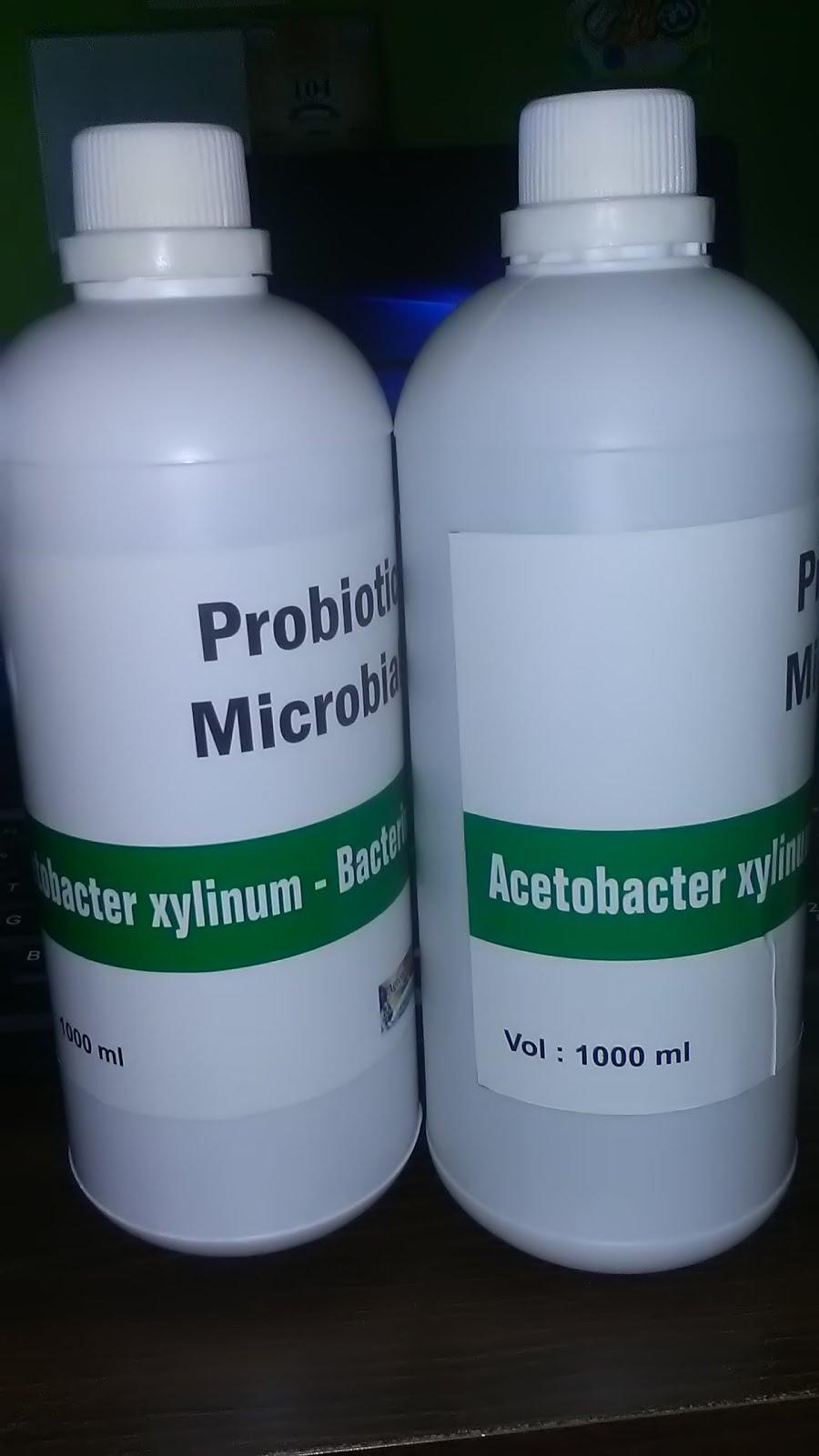 Acetobacter xylinum