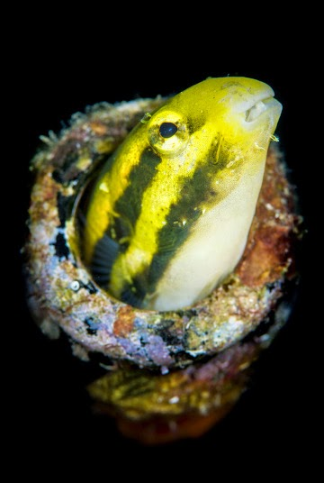 A shorthead fangblenny (Petroscirtes breviceps)
