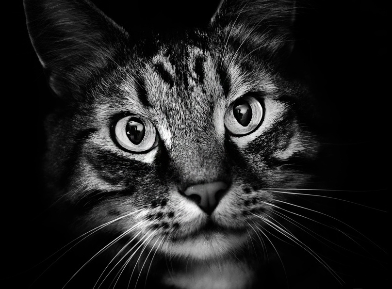 A black and white portrait of an exceptionally handsome cat