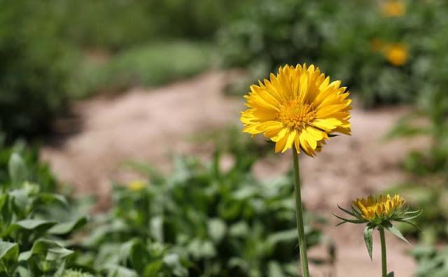 Gaillardia Grandiflora Mesa Yellow Flowers