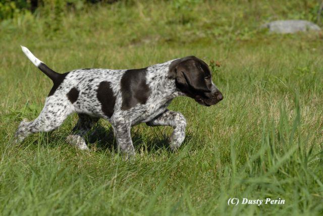 Pin Running English Springer Spaniel Dog Photo And Wallpaper Beautiful ...