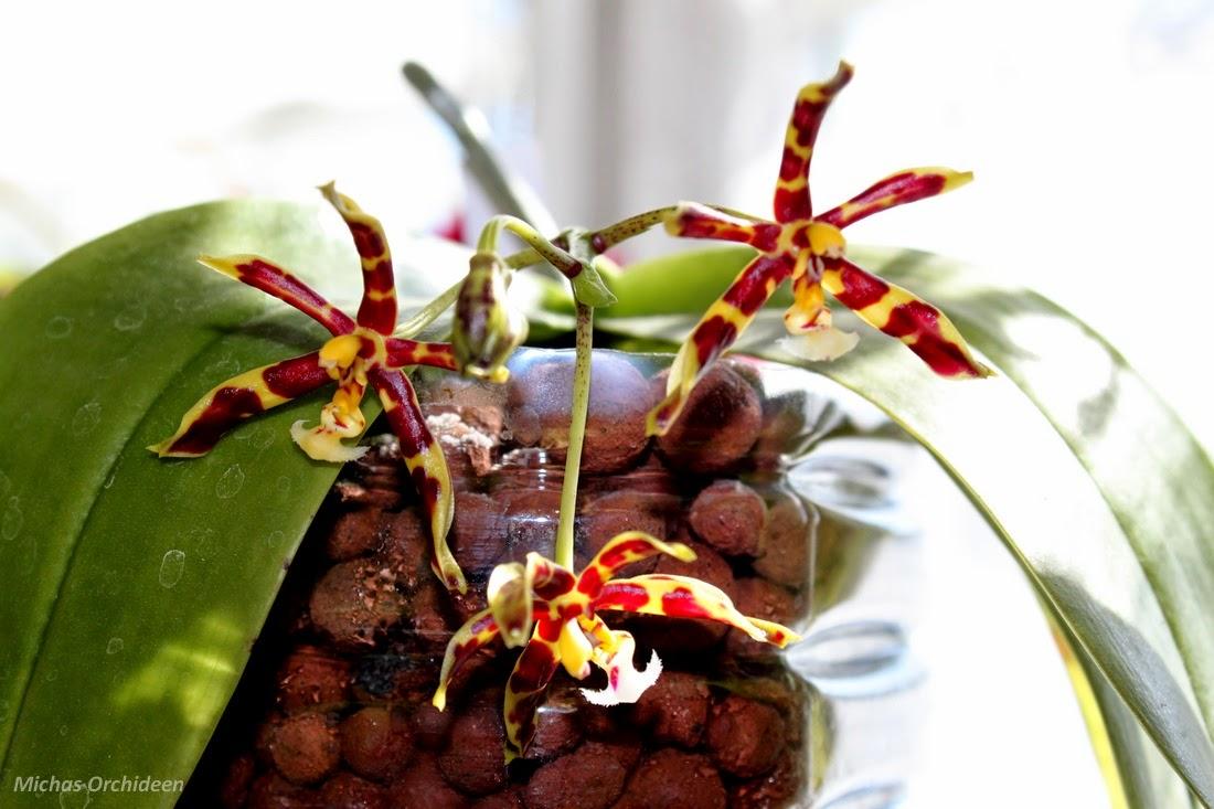 les orchid es de micha et encore quelques fleurs. Black Bedroom Furniture Sets. Home Design Ideas