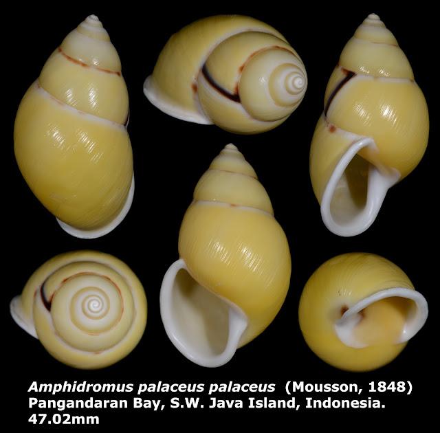 Amphidromus palaceus palaceus 47.02mm