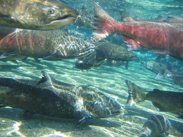 California Bans Genetically Engineered Salmon