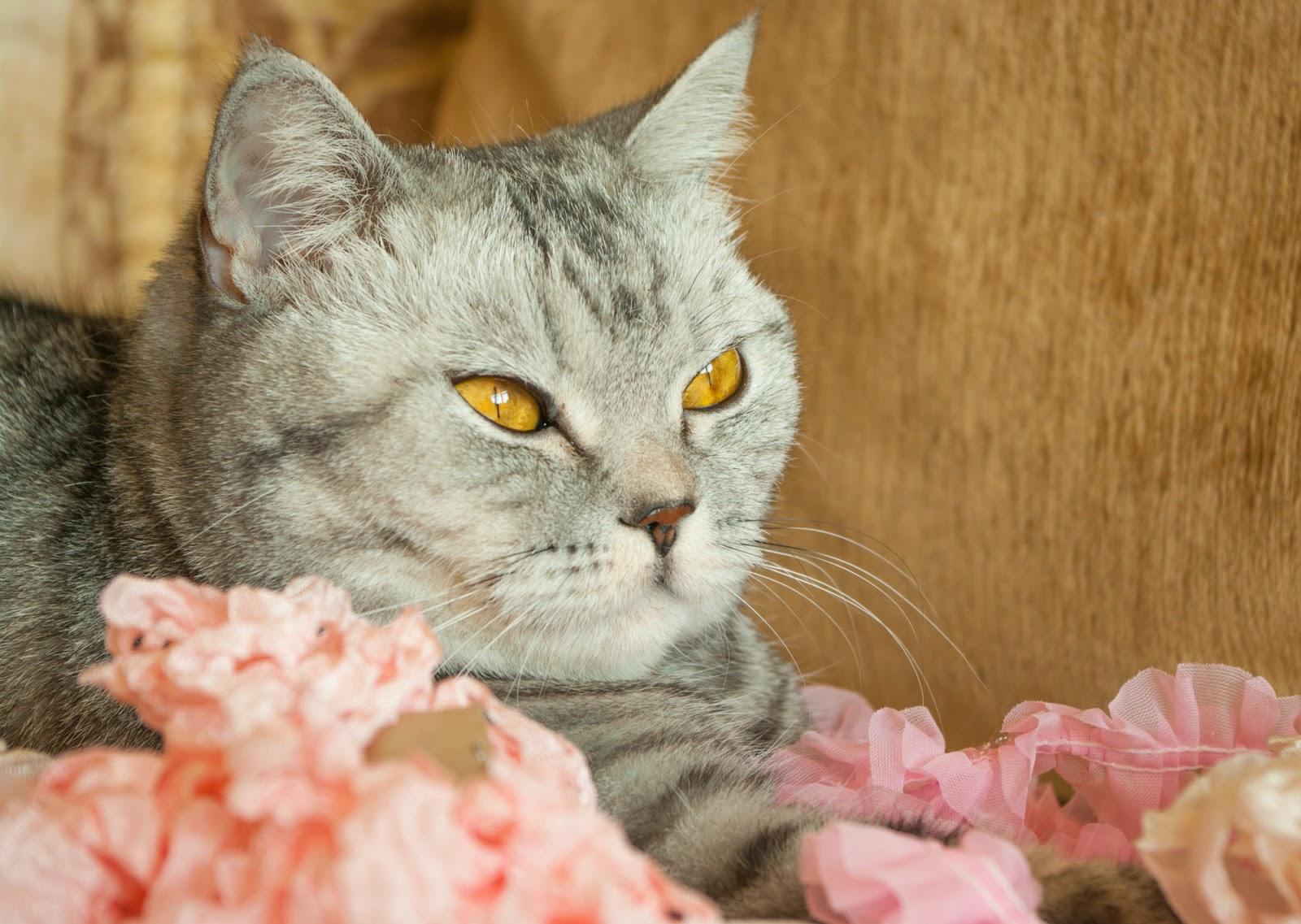 британская короткошерстная, котэ, котик, котики, кошечка, кот