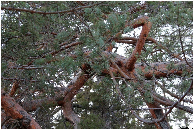 Ramas enmarañadas de pino albar en la Cuesta De La Varga (Huélamo)