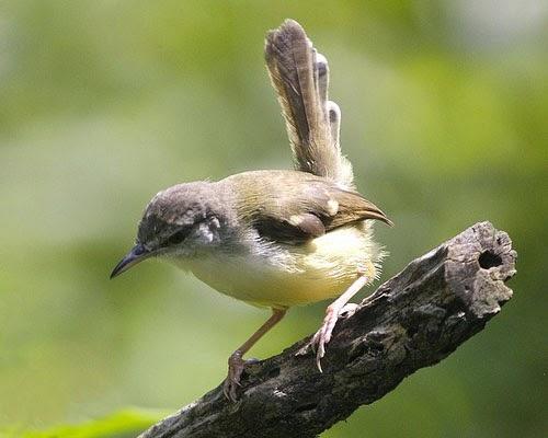 Gambar Cara Merawat Burung Ciblek
