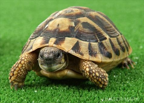 ... tortoises,tortoise as pets,tortoise species,tortoises as pets,tortoise