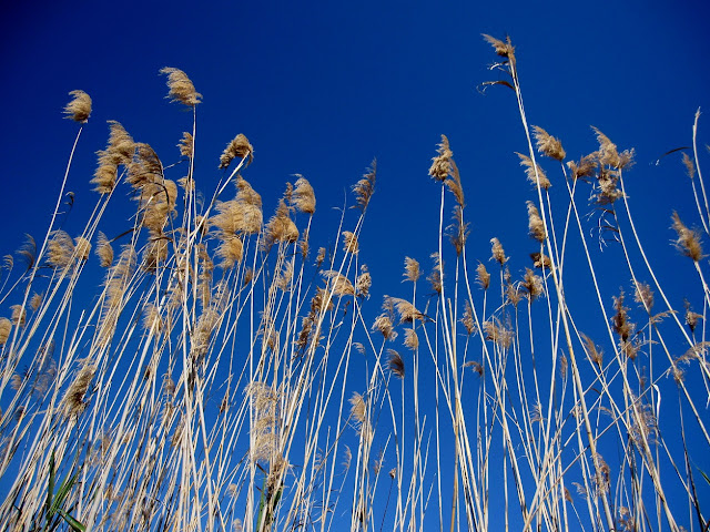 Senill (Phragmites australis)