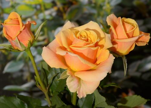 Tequila rose сорт розы фото