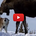 Loyal Dog Saves Family From (Mostly Harmless) Moose