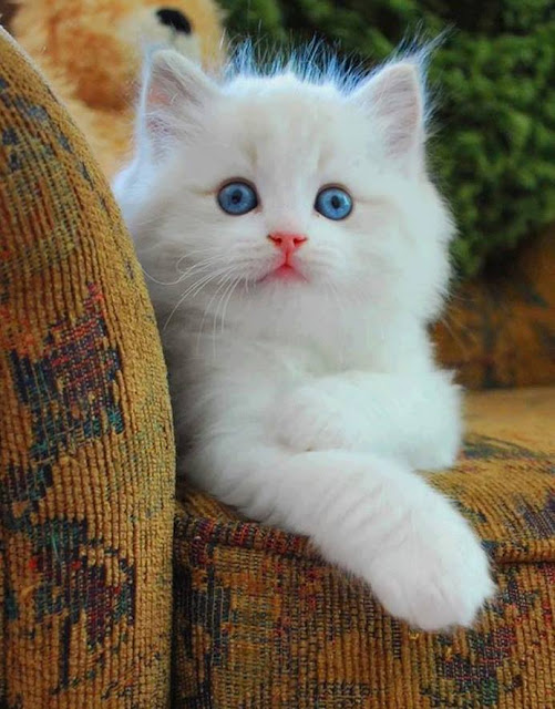 Blue eyed white kitten image
