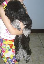Essa linda Poodle Toy é a Docinho!