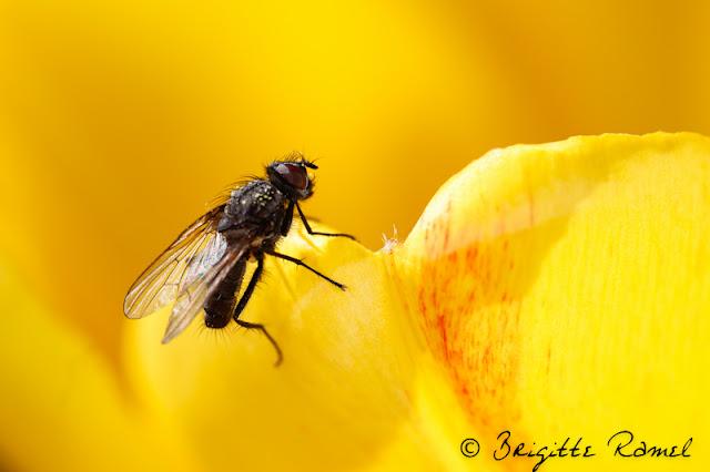 Diptère, mouche, insecte