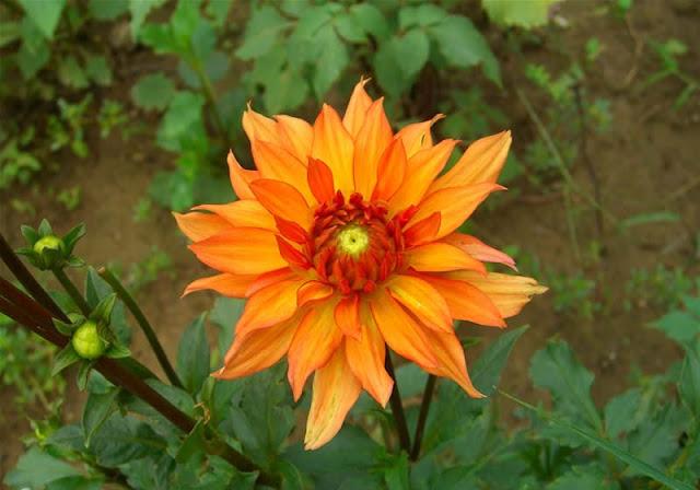 Dahlia Flowers Pictures