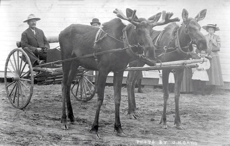 Animals Pulling Wagon : Just a car guy animals pulling carts seems to have