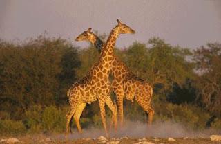 par de jirafas