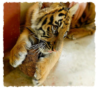 Tiger Kingdom vs Tiger Temple: Cute baby tiger