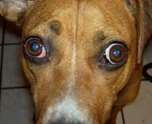 Red Eye In Dog From Fall