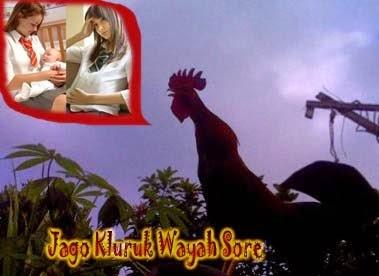 Jago Kluruk Wayah Sore Ono Prawan Meteng