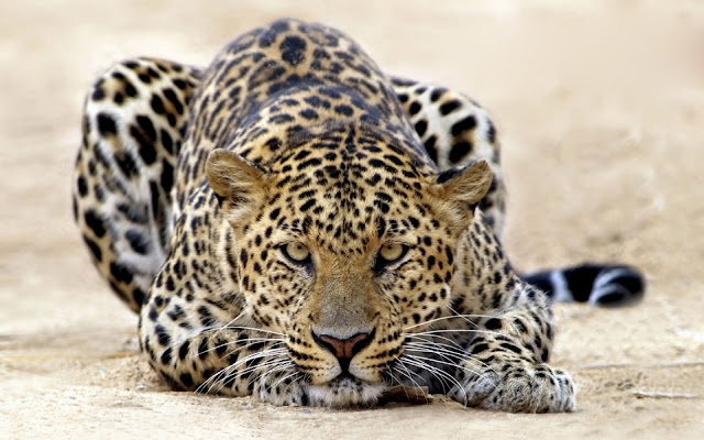 animals_leopard_wallpaper_hd_1223