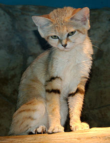 Sand Cat, kucing tanguh penghuni padang pasir