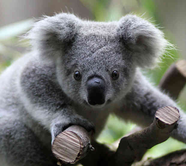 Koala bear interesting and amazing all basic facts animals lover - Pictures of koalas and baby koalas ...