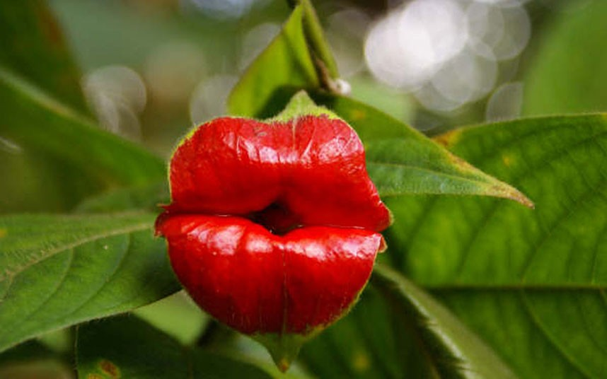 Tywkiwdbi Tai Wiki Widbee The Hot Lips Plant