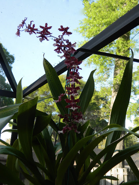 Easy Orchid Care. How to grow beautiful Orchids is not as difficulat as you may think!