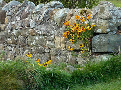 Wallflower, Lindisfarne