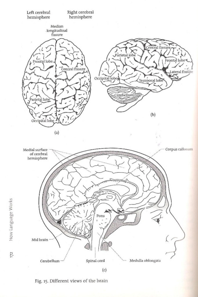 lobes of brain. The rain is divided into four