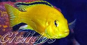 Club acuaristas bragado peces c clidos for Criaderos de peces de agua fria