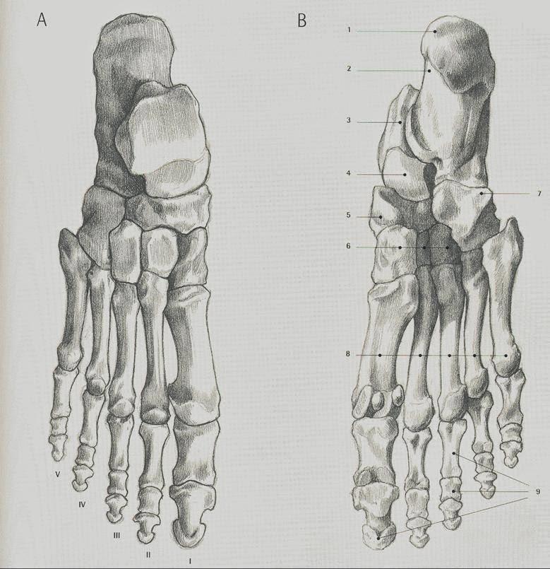 Bonus del Calzado: Anatomía del Pie