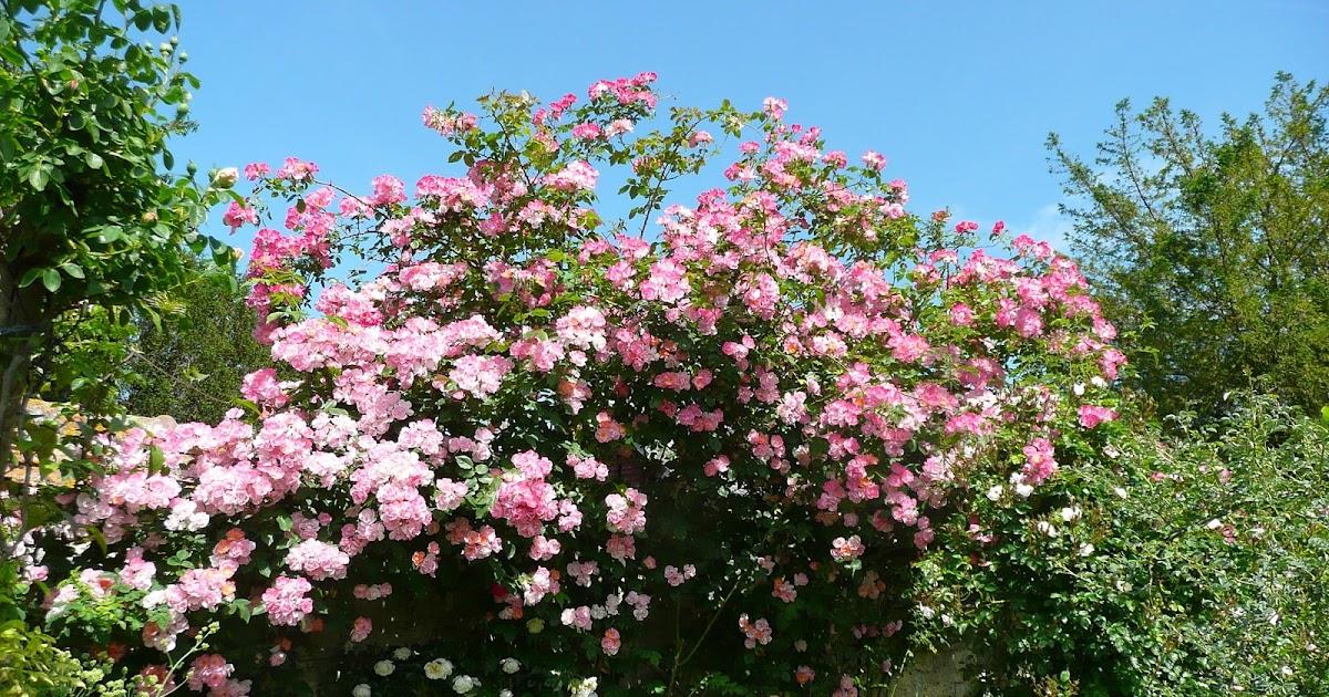 Notre jardin secret achats de courson 2 - Taille rosier liane ...