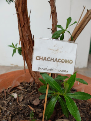Escallonia micrantha