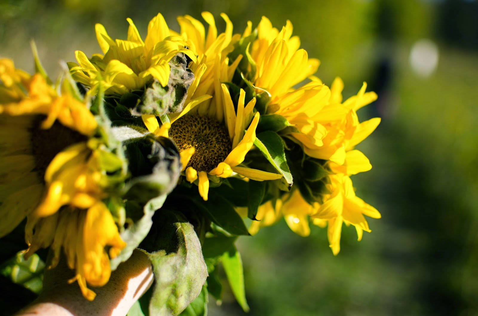 sunflower fields 2 by - photo #27