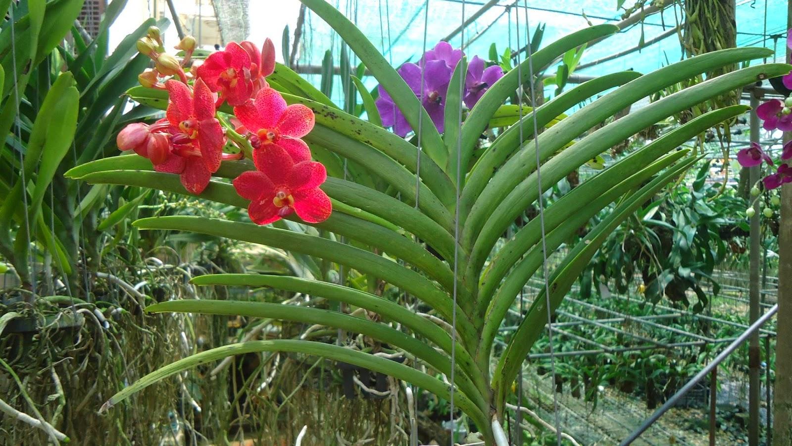 phong lan Vanda do