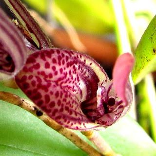Pleurothallis smithiana, Pleurothallis pubescens, Pleurothallis riograndensis