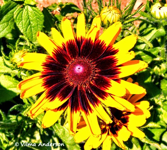 Photo of a large yellow daisy