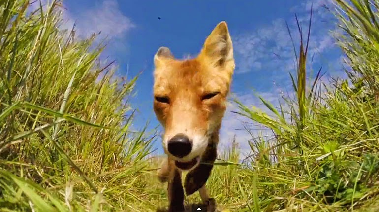 Determined Fox Tries To Kill And Eat A GoPro (VIDEO)