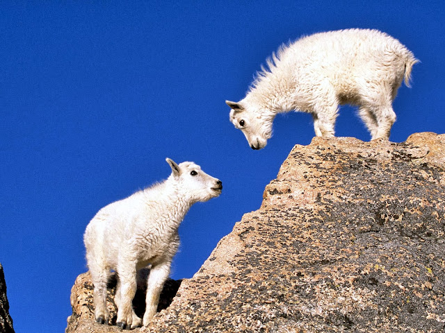 Mountain Goat Kids wallpaper