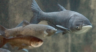 Bighead Carp - Fishes