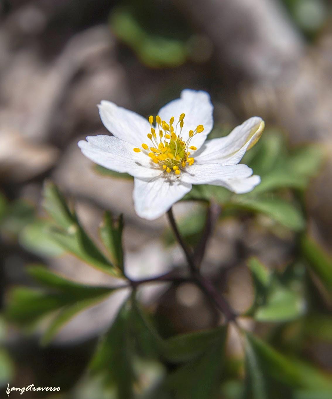 Flore des Alpes, printemps